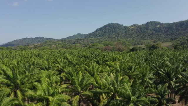 palm trees plantation in costa rica - tree canopy stock videos & royalty-free footage