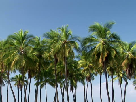 stockvideo's en b-roll-footage met ms palm trees, pu'uhonua o honaunau national historical park, place of refuge, the big island, hawaii, usa - waaierpalm