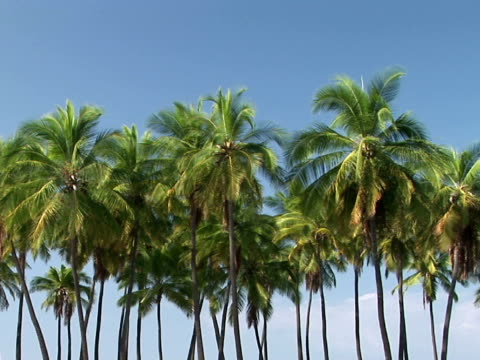 stockvideo's en b-roll-footage met ms, zi palm trees, pu'uhonua o honaunau national historical park, place of refuge, the big island, hawaii, usa - waaierpalm