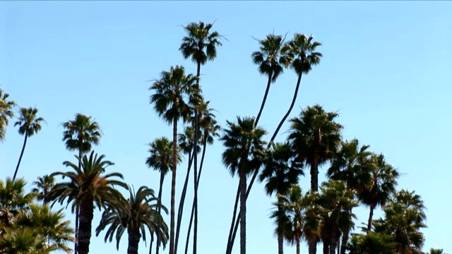 palm trees stand tall under a lovely blue sky. - fan palm tree stock videos & royalty-free footage