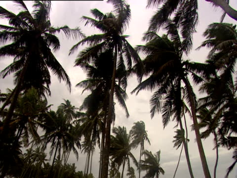 palm trees swaying in breeze sri lanka - swaying stock videos & royalty-free footage