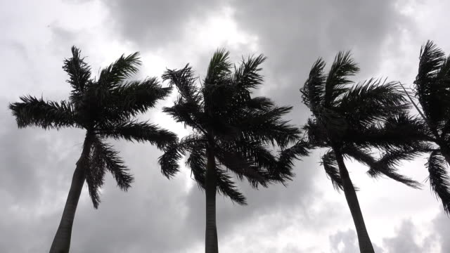Palm Trees under Strong Wind in Storm