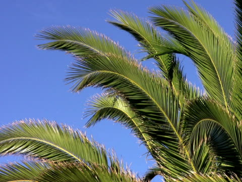 stockvideo's en b-roll-footage met pal: palm trees - plant attribute
