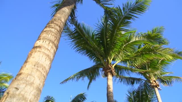 HD DOLLY: Palm Trees