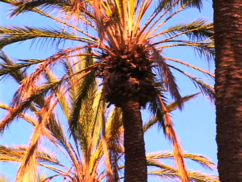 stockvideo's en b-roll-footage met palm trees - tropische boom
