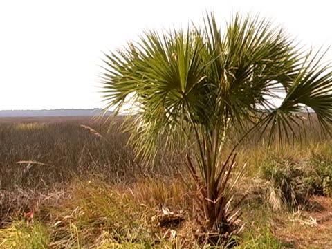 vídeos y material grabado en eventos de stock de palmetto frunce el ceño - árbol tropical