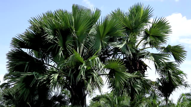 stockvideo's en b-roll-footage met palms - waaierpalm