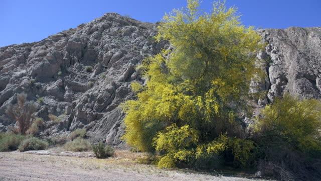 palo verde tree in flower, parkinsonia florida, joshua tree national park - verde color stock videos & royalty-free footage