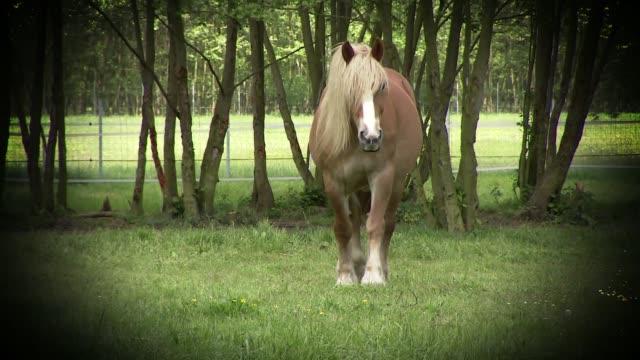 palomino horse - zugpferd stock-videos und b-roll-filmmaterial