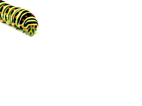 pal:swallowtail caterpillar - invertebrate stock videos & royalty-free footage