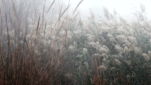 pampas grass during winter season - non urban scene stock videos & royalty-free footage