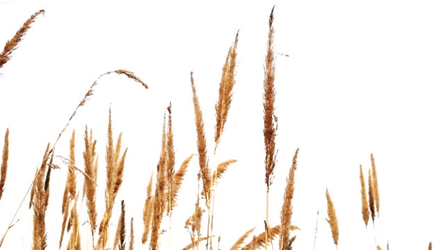 pampas grass - reed grass family stock videos & royalty-free footage