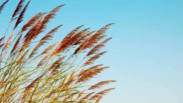 pampas gras - graspflanze stock-videos und b-roll-filmmaterial