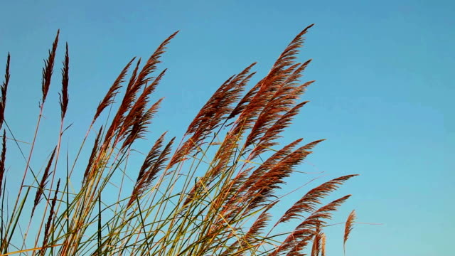 pampas grass - swaying stock videos & royalty-free footage