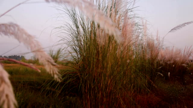 pampas grass - blade of grass stock videos and b-roll footage