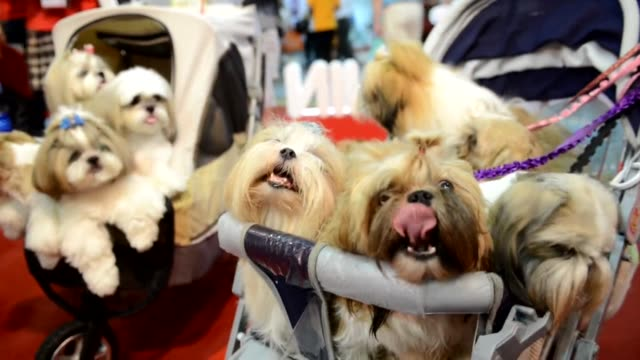 pampered pets strut their stuff at a pet show in taiwan clean pampered pets strut their stuff on july 26 2013 in taipei taiwan - pampered pets stock videos and b-roll footage