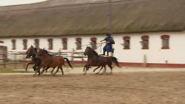 pan: a csikos stands on galloping horses leading three more towards camera - fähigkeit stock-videos und b-roll-filmmaterial