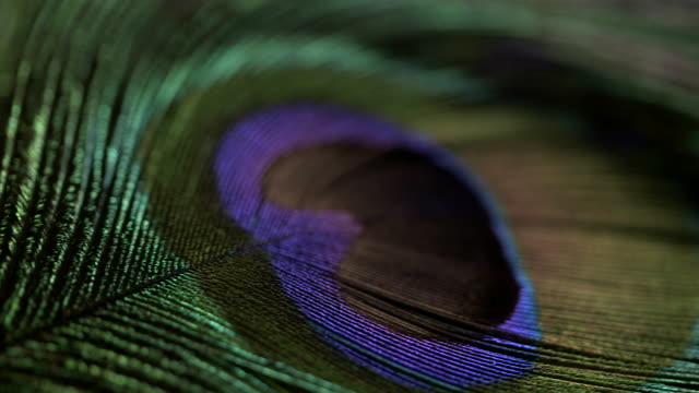 Pan across a beautiful peacock tail feather.