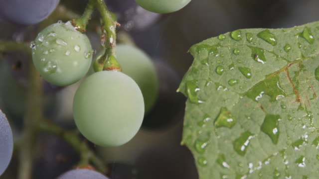 stockvideo's en b-roll-footage met cu pan across a bunch of purple concord grapes. - sappig