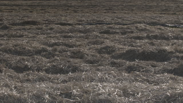 pan across a field covered in straw-like vegetation after a carrot harvest, uk. - dry stock videos & royalty-free footage