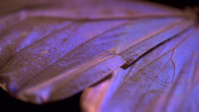 Pan across an iridescent wing of a butterfly specimen.