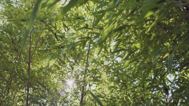 pan across bamboo leave with sunlight flare through leaves. - bamboo plant stock videos & royalty-free footage
