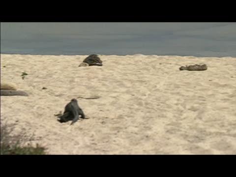 Pan across beach to rear view of marine iguana (Amblyrhynchus cristatus) heading toward water / Galapagos Islands