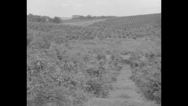vídeos de stock, filmes e b-roll de pan across coffee crop in field / farmer standing next to coffee plant stripping beans off plant / note: exact month/day not known - 1930
