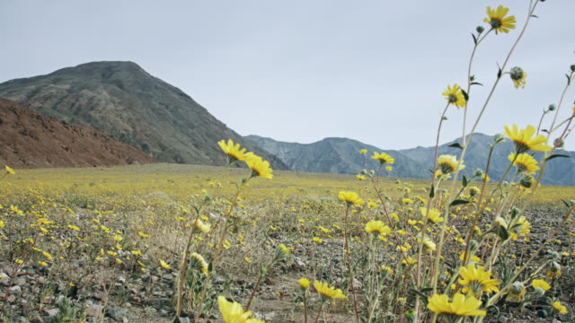 Pan Across Death Valley Super Bloom