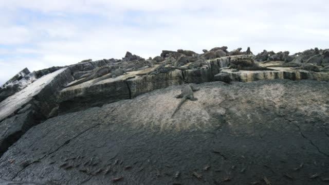 Pan Across Galapagos Iguanas