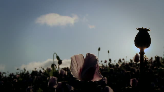 pan across opium poppies - small group of animals stock videos & royalty-free footage