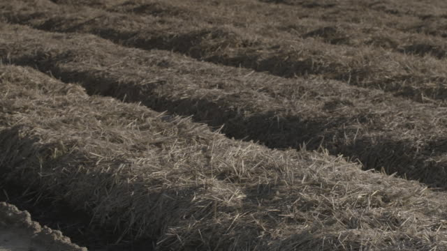 Pan across rows of dry straw-like vegetation after carrots have been harvested from a field, UK.