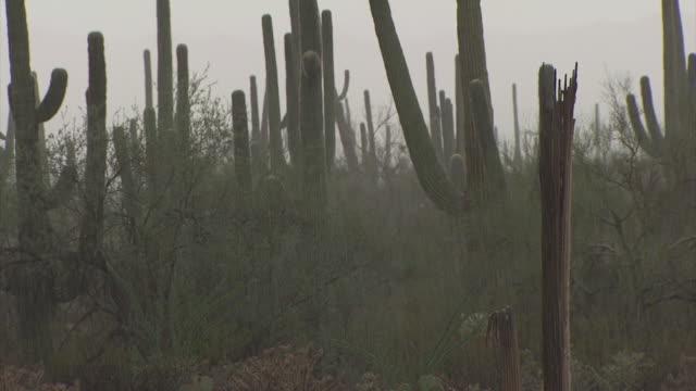 pan across saguaro cactus and prickly pear cactus in heavy rain, sonoran desert, arizona, usa. - torrential rain stock videos & royalty-free footage