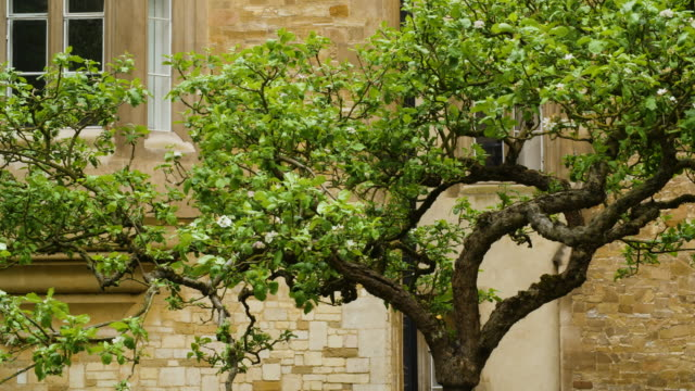 pan across the branches of the isaac newton apple tree at trinity college, cambridge. - trinity college cambridge university stock videos & royalty-free footage