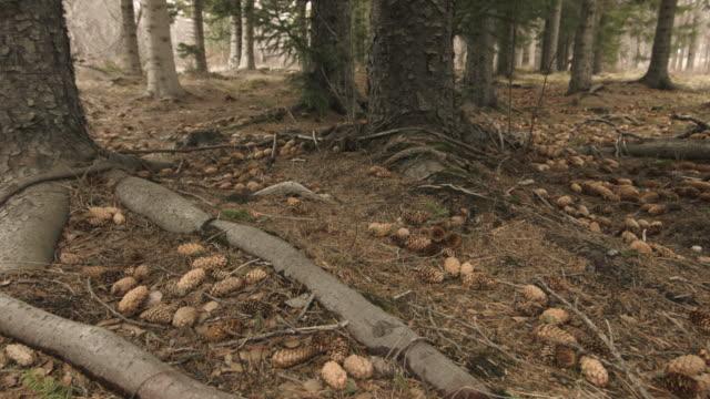 vídeos y material grabado en eventos de stock de pan across the floor of a pine forest.  - raíz