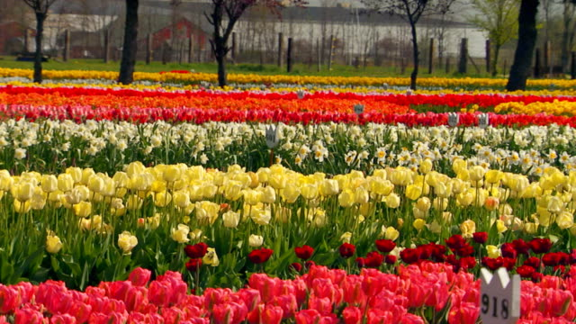 pan across tulip farm - tulip stock videos and b-roll footage