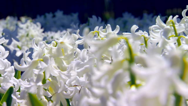 pan across white hyacinth (close  up) - hyacinth stock videos & royalty-free footage