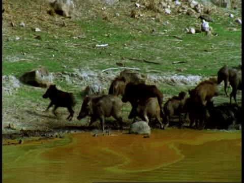 ms pan across wild boar, sus scrofa, herd at waterhole, bandhavgarh national park, india - national icon stock videos & royalty-free footage