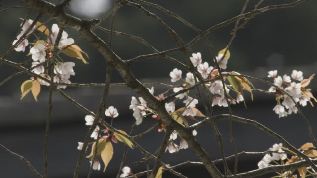 Pan along branch of cherry tree laden with blossom. Gyokudo Art Museum, Tokyo, Japan.