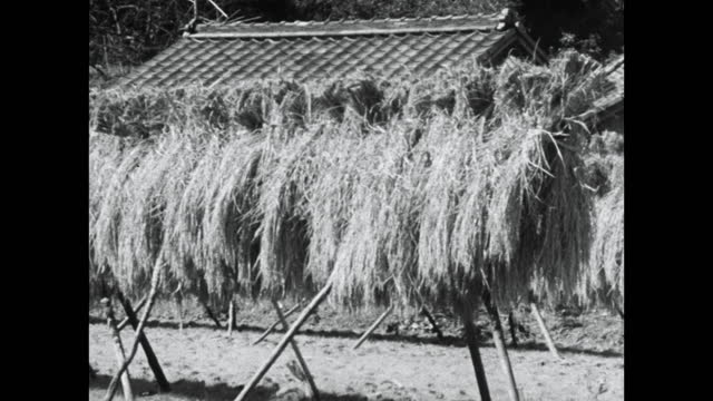 pan along rice bundles drying on racks in kyoto; 1964 - kyoto prefecture stock videos & royalty-free footage
