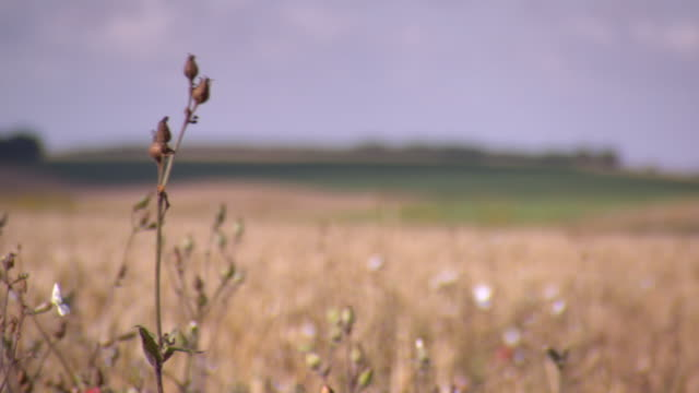 Pan and pull focus onto poppy seed heads growing with other wildflowers next to a wheat field in northern France.