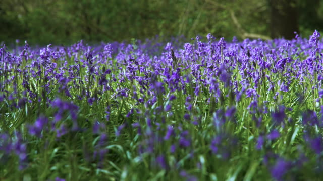 pan around bluebells in bloom - le quattro stagioni video stock e b–roll