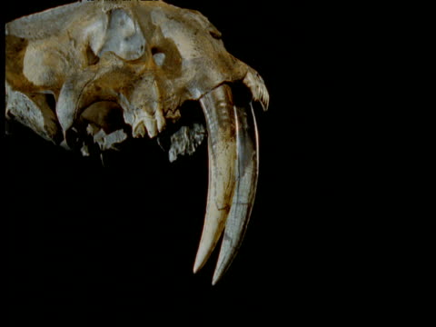 pan around fossil sabre toothed cat skull, california - saber toothed cat stock videos & royalty-free footage