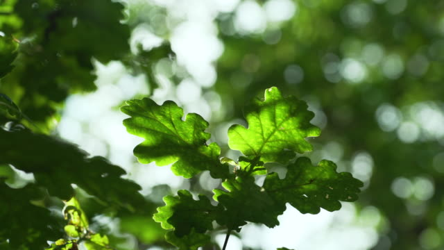 pan around oak leaves in woodland - panning stock videos & royalty-free footage