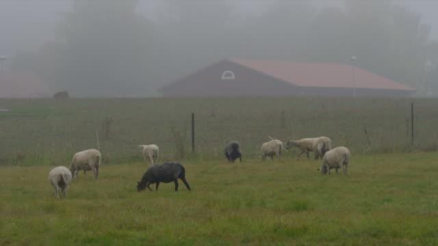 pan as lambs walk across field - medium group of animals stock videos & royalty-free footage