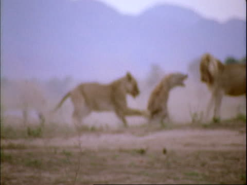 MS pan as lioness chases hyena, scuffle between several lions and hyenas, Lioness walks away to cameras, Mana Pools, Zimbabwe