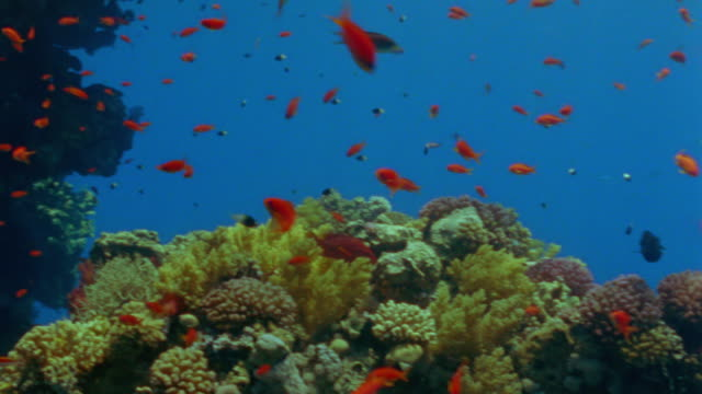 MS Pan Coral reef and shoal of orange anthias fish / Egypt