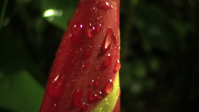 pan down a  brightly coloured lobster claw heliconia plant. - heliconia stock videos & royalty-free footage