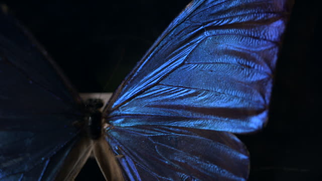 vídeos de stock e filmes b-roll de pan down a butterfly specimen with beautiful iridescent blue wings. - asa de animal