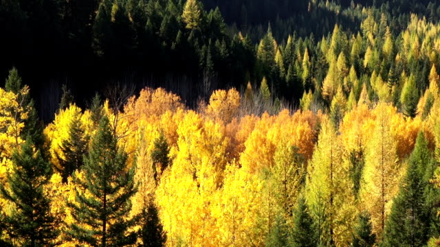 vídeos y material grabado en eventos de stock de pan down and up telephoto shot of golden fall colored trees in evergreen forest. - pinaceae